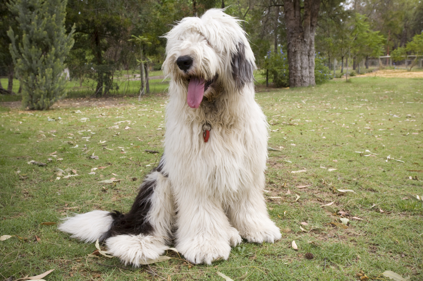 English Sheep Dog