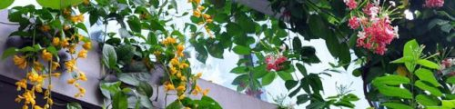 Climbing Plants For Your Balconies